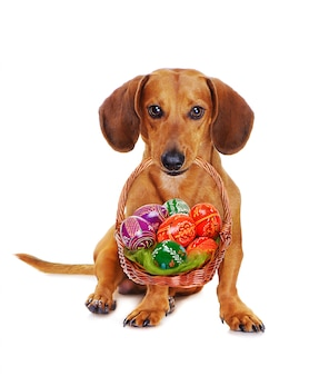 Hund, der ostern-korb mit bunten eiern hält