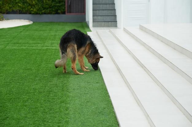 Hund, der rasengras außerhalb des hauses erforscht