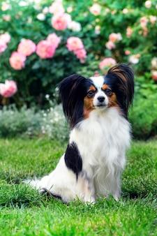 Hund der rasse papillon auf dem rasen im garten