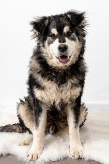 Hund des hohen winkels, der auf pelzteppich sitzt