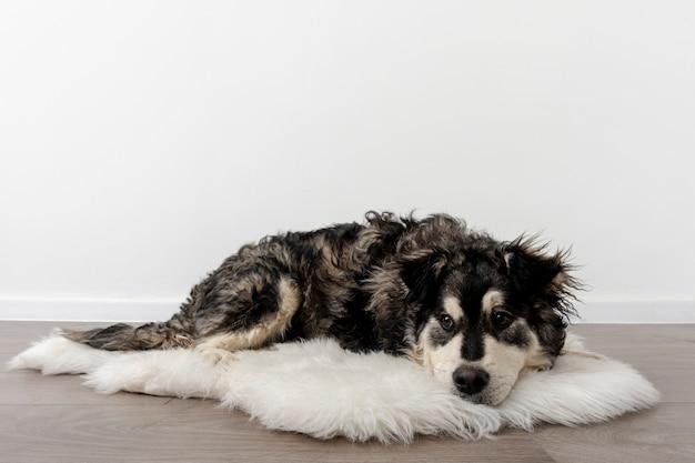 Hund des hohen winkels zu hause, der auf pelzteppich sitzt
