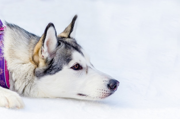 Hund des sibirischen huskys, der auf schnee liegt. schließen sie herauf gesichtsporträt im freien. schlittenhunderennenstraining bei kaltem schneewetter. starker, süßer und schneller reinrassiger hund für teamwork mit schlitten.