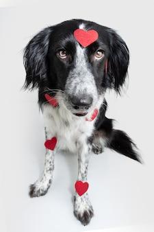 Hund feiert valentinstag mit roten herzen bedeckt. isoliert auf weißem hintergrund
