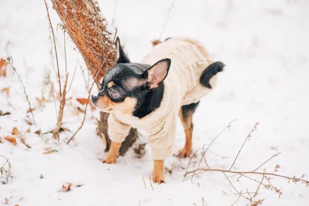 Hund. hund im winter geht im park spazieren. porträt eines winzigen chihuahua-hundes, der einen beigen pullover trägt