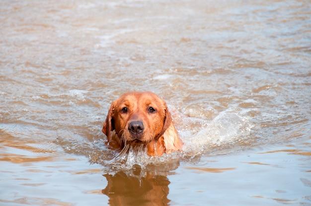 Hund im wasser schwimmen