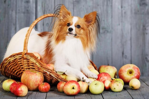 Hund in einem korb mit äpfeln