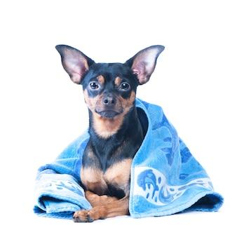 Hund in einer badewanne, isoliert. , isoliert. hübsche hundeporträt-nahaufnahme. konzept der einführung von spa-verfahren