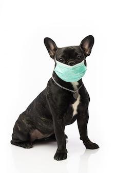 Hund in einer medizinischen maske. französische bulldogge. coronavirus