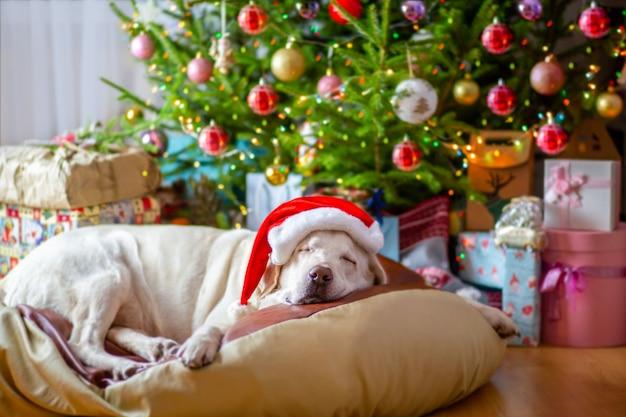 Hund in einer weihnachtsmütze liegt unter einem weihnachtsbaum mit geschenken.