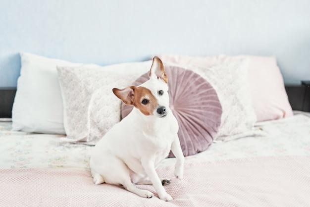 Hund jack russell terrier auf dem bett. fröhliche stimmung in der häuslichen atmosphäre. haustierfreundliches (hundefreundliches) hotel. hund, der auf decke im bett im schlafzimmer schläft.