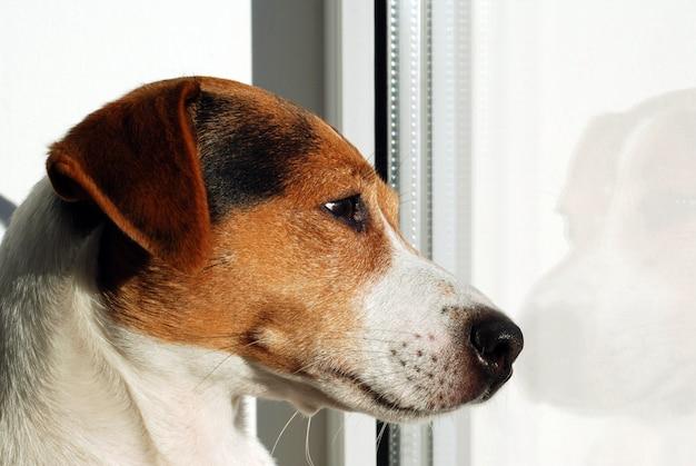 Hund jack russell terrier, der auf dem fenster schaut.