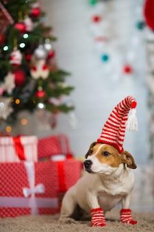 Hund jack russell terrier feiert weihnachten unter dem weihnachtsbaum in gestreiften rot-weißen socken