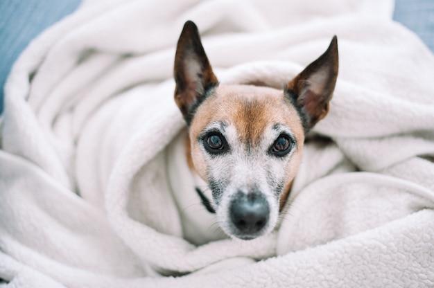Hund jack russell terrier liegt im bett