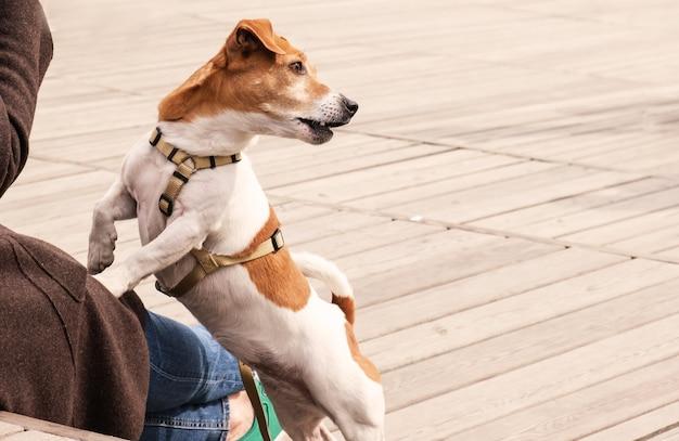 Hund jack russell terrier sitzt mit vorderpfoten auf dem schoß seines besitzers, während er im park spazieren geht