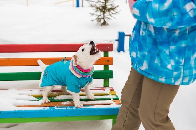 Hund jack russell terrier spielt im winterpark