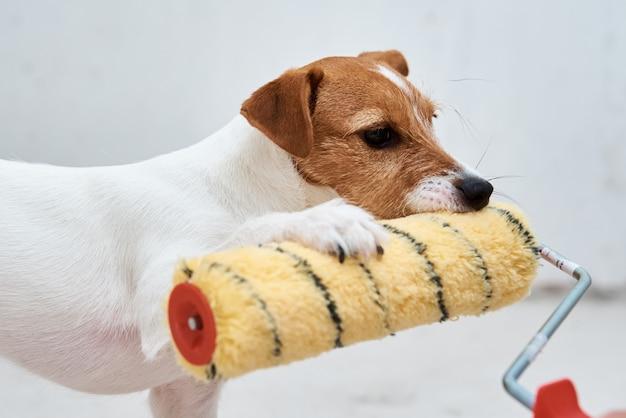 Hund jack russell terrier spielt mit farbroller im weißen raum. renovierungskonzept