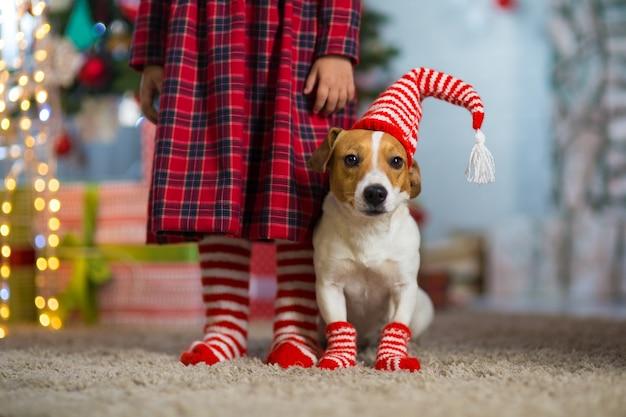 Hund jack russell terrier und beine eines kleinen mädchens in rot-weiß gestreiften socken, die weihnachten zu hause am neujahrsbaum feiern