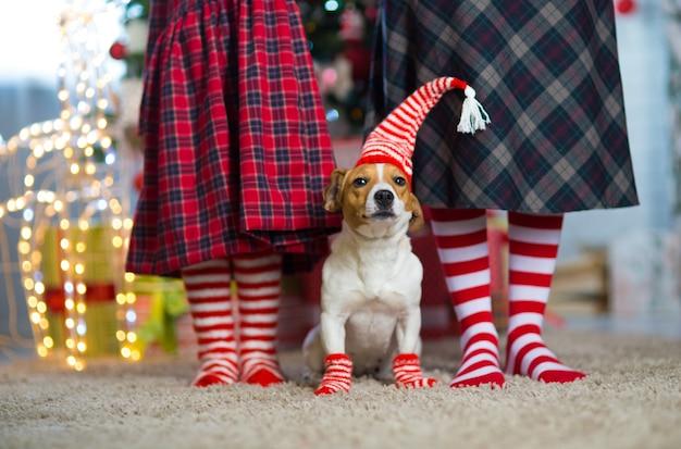 Hund jack russell terrier und beine frau und kleines mädchen in rot-weiß gestreiften socken feiern weihnachten zu hause am neujahrsbaum