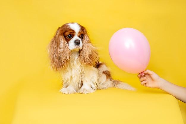 Hund kavalier könig charles spaniel sitzt und schaut auf rosa ballon, geschenk in seiner hand.