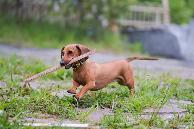 Hund läuft mit stock