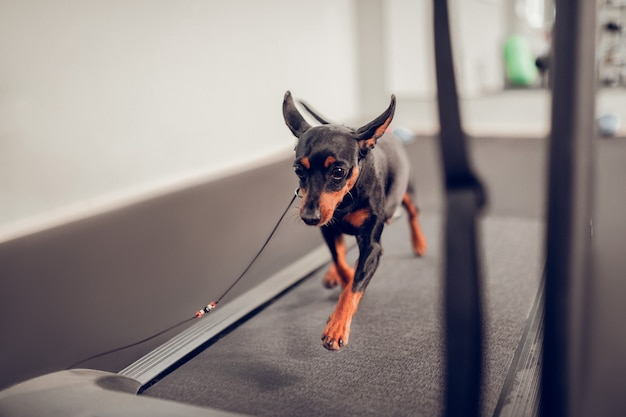 Hund läuft. nahaufnahme eines kleinen schwarzen hundes, der auf der rennstrecke läuft, während er sich auf den wettbewerb vorbereitet