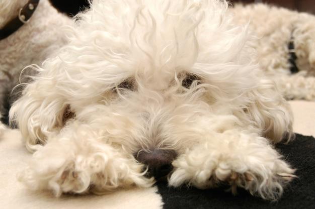 Hund liegend