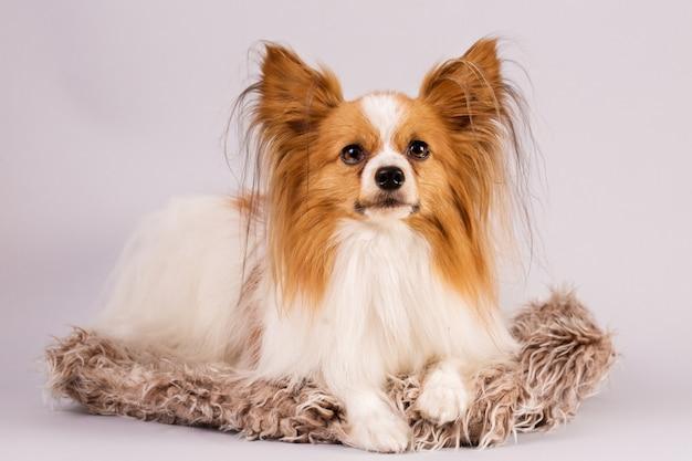 Hund liegt auf einem zotteligen teppich