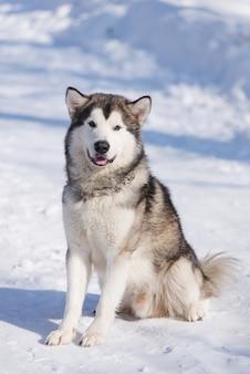 Hund malamute für einen spaziergang im winter in einem park im schnee