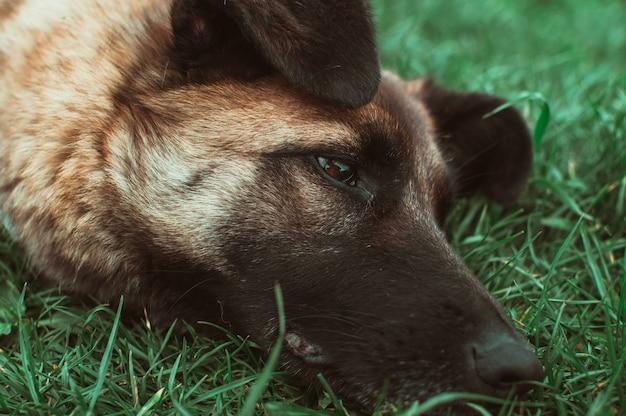 Hund mit der schwarzen schnauze auf dem gras