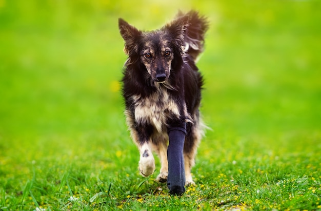 Hund mit einer gebrochenen pfote in einer besetzung. bester freund. grünes gras. sommerzeit.