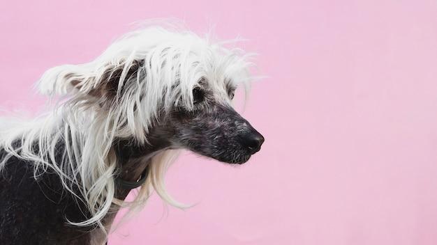 Hund mit fantastischem haarschnitt- und kopienraumhintergrund