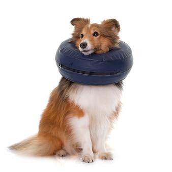 Hund mit schutzhalsband