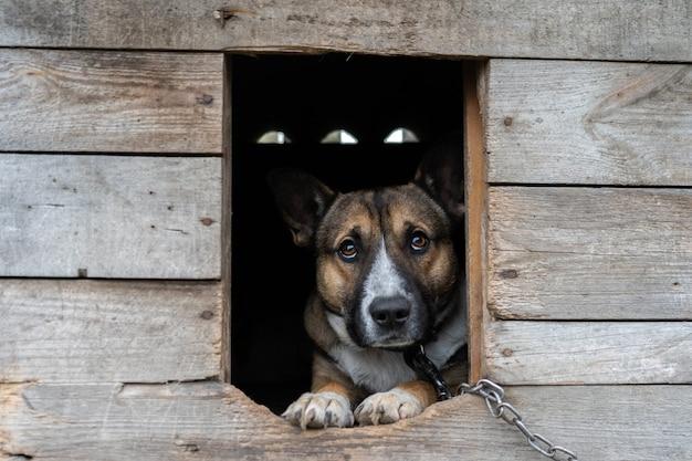 Hund mit traurigen augen sitzt an einer kette in der hundehütte