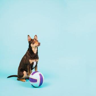 Hund mit volleyball