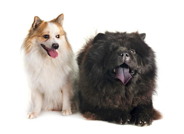 Hund mit zwei hunden