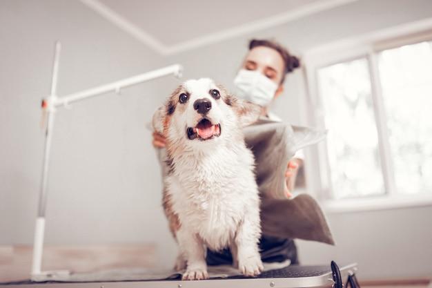 Hund öffnet den mund. süßer weißer hund, der den mund nach dem rasieren und waschen im pflegesalon öffnet