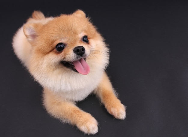 Hund pomeranian.