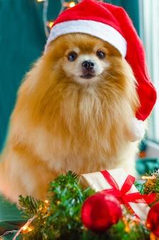 Hund pommerscher spitz in roter weihnachtsmütze mit weihnachtsgeschenk