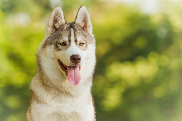 Hund. porträt auf dem rasen in der städtischen umwelt. portrait des sibirischen huskys