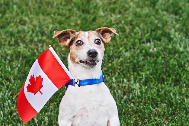 Hund posiert mit kanadischer flagge auf grünem gras. feier des kanada-tages. glücklicher kanada-tag. 1. juli feiert den nationalfeiertag kanadas, der als kanadas geburtstag bezeichnet wird