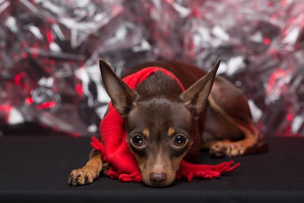 Hund russischer toy terrier. feiertag weihnachten.