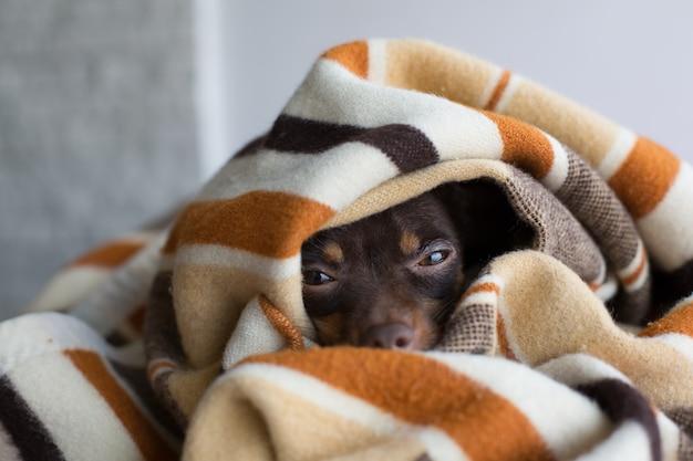 Hund schläft unter der decke