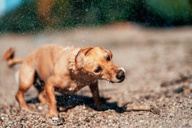Hund schüttelt wasser ab