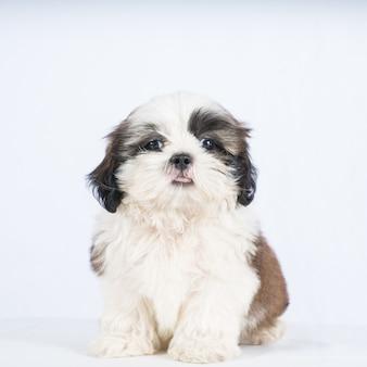 Hund shisu lokalisiert auf weiß