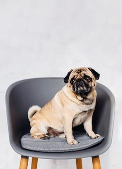 Hund sitzt auf dem stuhl