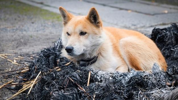 Hund sitzt auf lagerfeuer mit asche / japanischer shiba inu hund klein, schlafender hund einsame tier obdachlose winterhundetiere