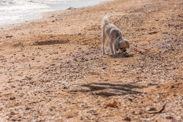Hund, so süß gemischte rasse mit shih-tzu, pommern und pudel reisen am strand laufen