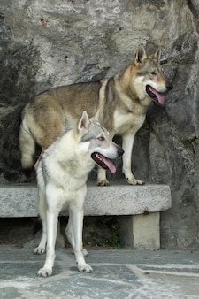 Hund tschechoslowakischer wolfshund