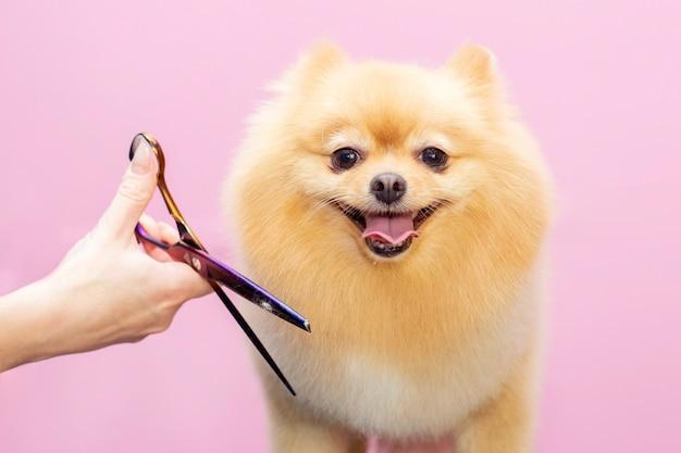 Hund wird im pet spa grooming salon die haare geschnitten.