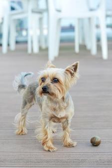 Hund yorkshire terrier mit kurzen haaren